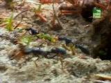 Муравьи - Убийцы / BBC Killer - Ants (2006)